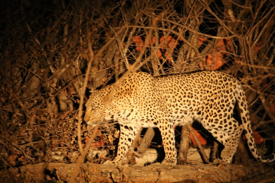 Leopard in spotlight by Kenny B7