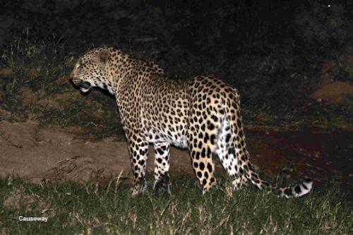 Leopard near causeway by Graham Benfield