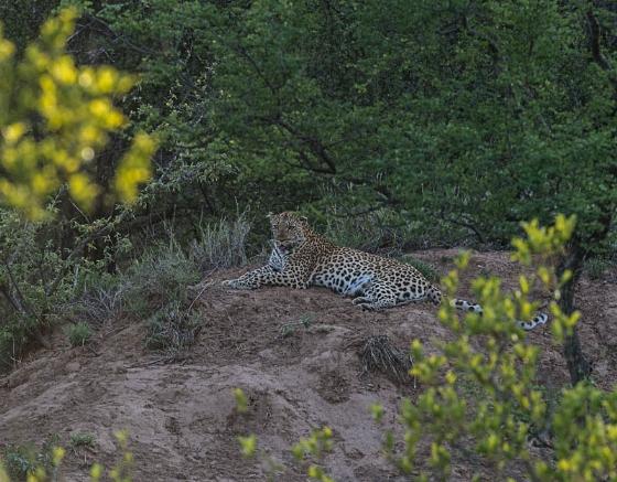 Leopard on Instant Alley by Eileen Fletcher 2