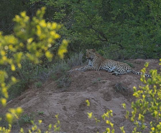 Leopard on Instant Alley by Eileen Fletcher