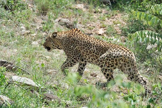 Leopard on Olifants River - Johann Grobbelaar B38