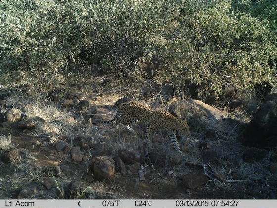 Leopard on Pebble Loop Walk camera trap