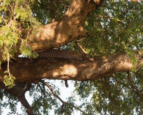 Leopard on Pels loop 1 by John B35
