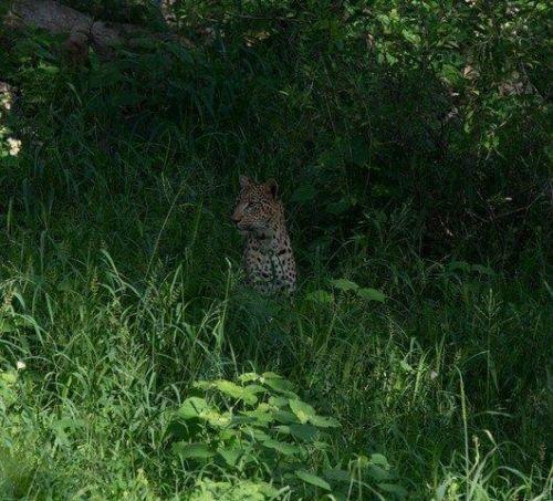 Leopard on Pels loop by John B35