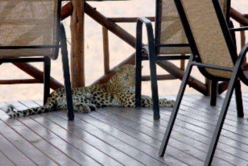 Leopard on deck of B25 by Rene Teichman