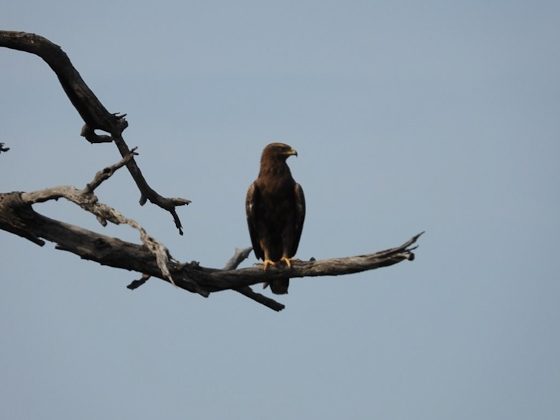 Lesser spotted eagle by Roy A8