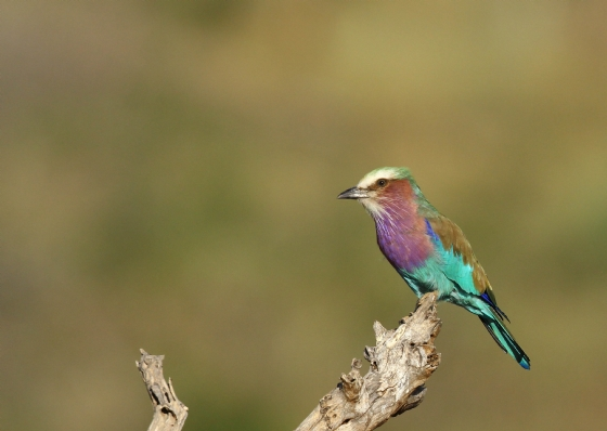 Lilac Breasted Roller by Simon B19