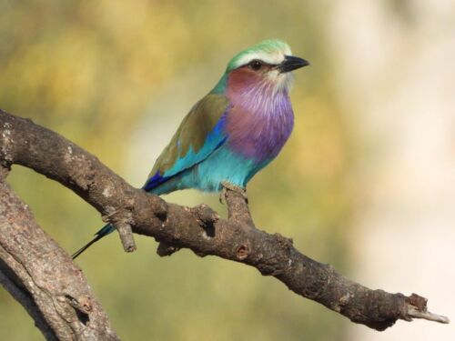Lilac Breasted Roller by Tamara A8