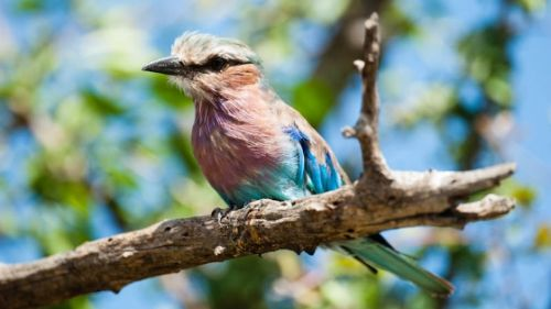 Lilac breasted Roller by Carl Hattingh
