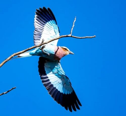 Lilac breasted Roller by John B35