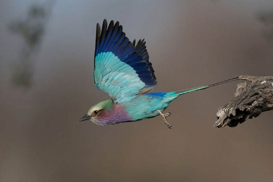 Lilac breasted roller by Johann B38