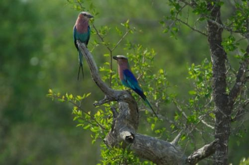 Lilac breasted roller pair by Eileen Fletcher