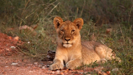 Lion Cub from our pride by Nic Holzer