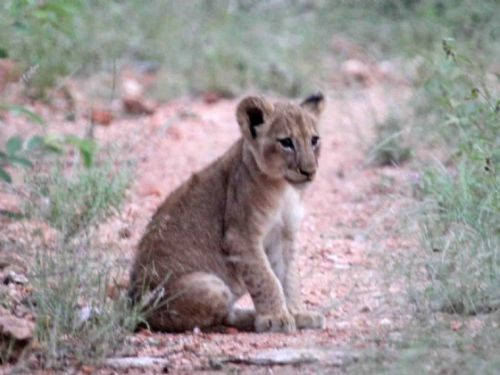 Lion Cub in Natures valley by Nic Holzer