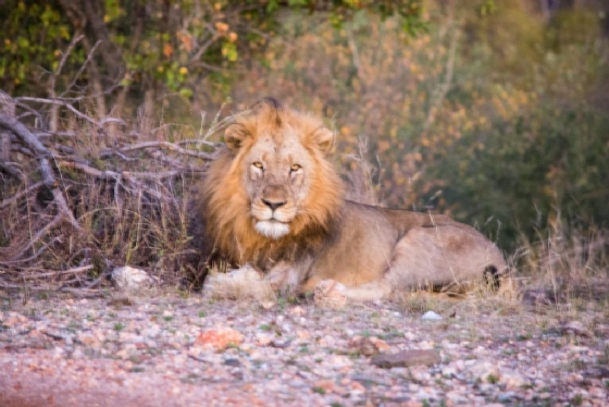 Lion On Mica Hill by B36