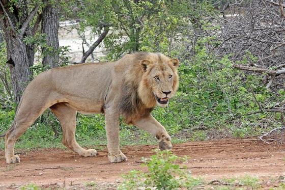 Lion On River Loop. Teich B25