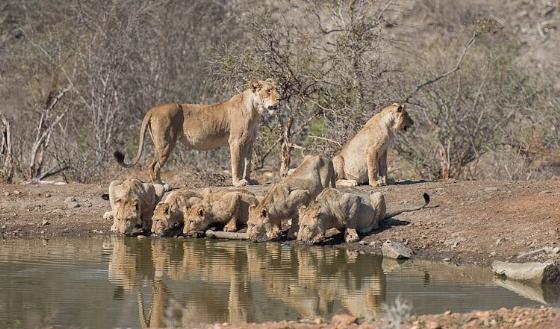 Lion Pride at Kudu Pan by Johann B38