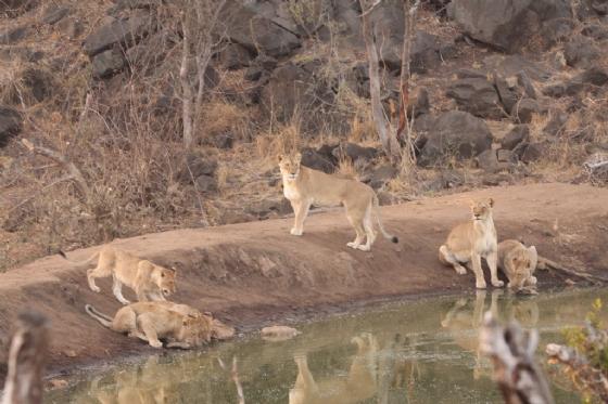 Lion Pride at Wildebeest dam by Graham Benfield