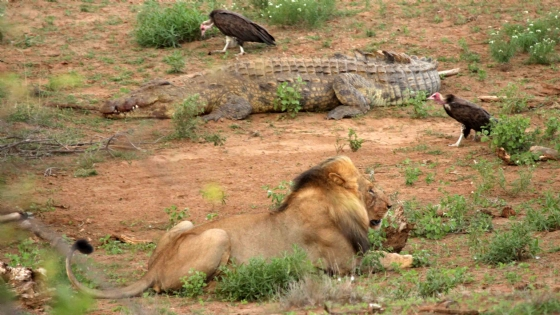 Lion and Croc by Nic Holzer