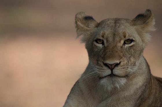 Lion at Ndlovu dam by Eileen Fletcher 2