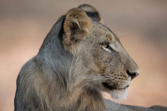 Lion at Ndlovu dam by Eileen Fletcher
