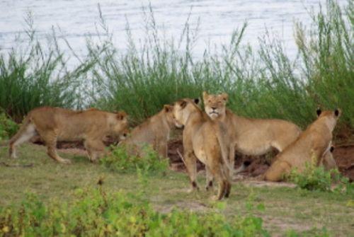 Lion at Speakers Corner by Roy Markham 3