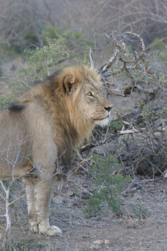 Lion at White Cliffs by James B21