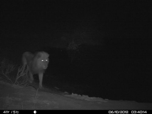 Lion at Wildebeeste dam at 03h40am 10th June