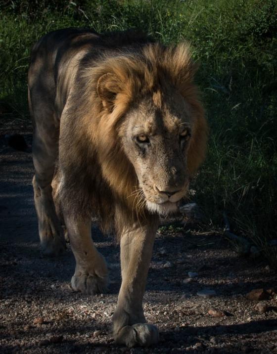 Lion by Anne B36