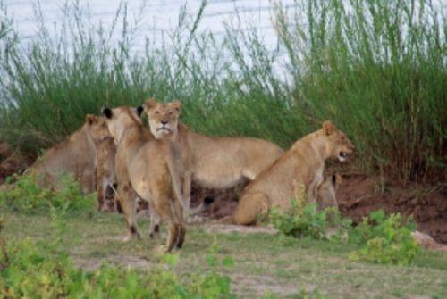 Lion by Roy Markham