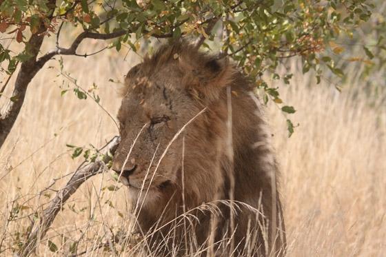 Lion by Steven B21