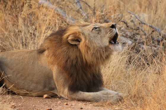 Lion calling lazily by Kenny B7