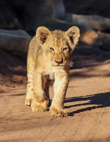 Lion cub by Kate B8