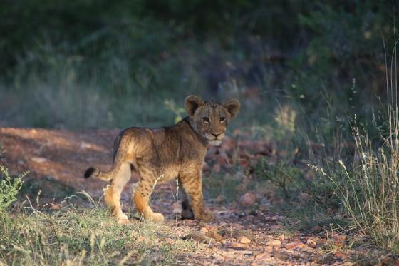 Lion cub in shade. Kenny Jones. B7
