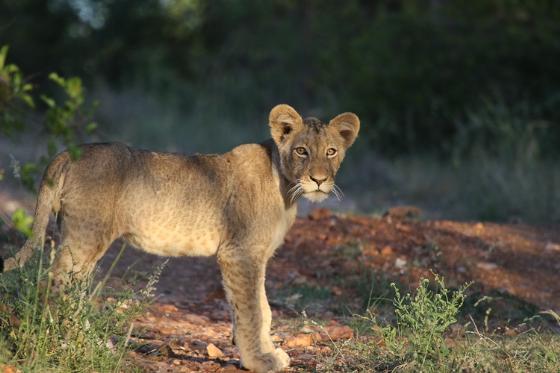 Lion cub in sun. Kenny Jones. B7
