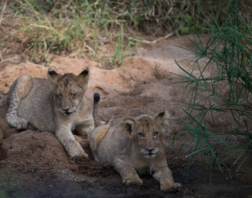 Lion cubs on Palm Loop by Eileen Fletcher
