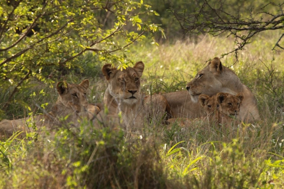 Lion family at Purple Roller Junction by Graham Benfield