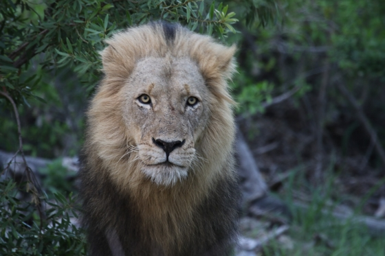 Lion - full frontal. Kenny Jones. B7