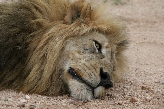 Lion - head. Kenny Jones. B7