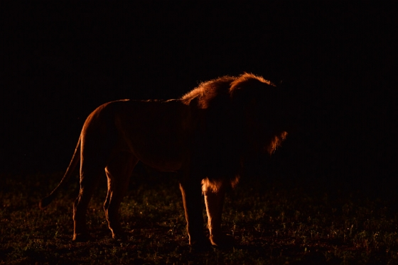 Lion in silhouette by Kit B8