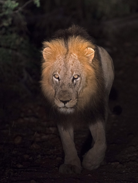 Lion in the spotlight by Johann B38
