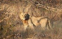 Lion in the sun by Kate B8