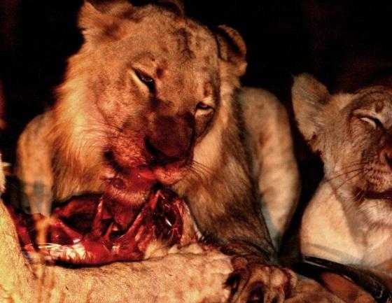 Lion kill by Danny Shaw