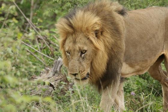 Lion - mobile. Kenny Jones. B7