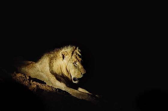 Lion on Pels Loop by Dan B33
