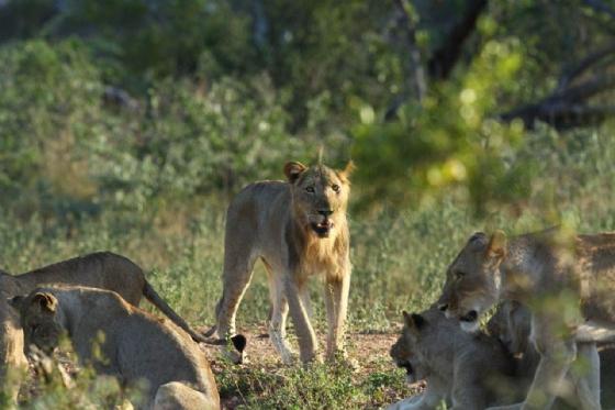 Lion pride by Simon B19