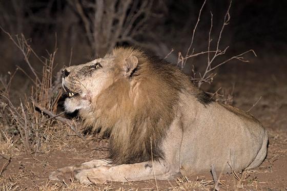 Lion roaring near Ndlovu by Johann B38