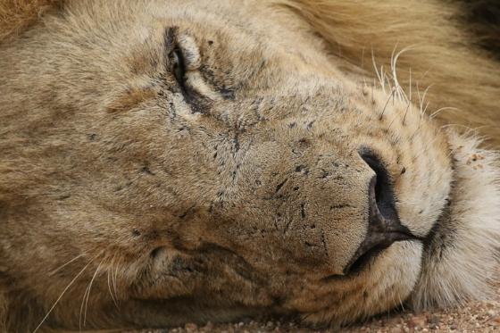Lion. Kenny Jones B7