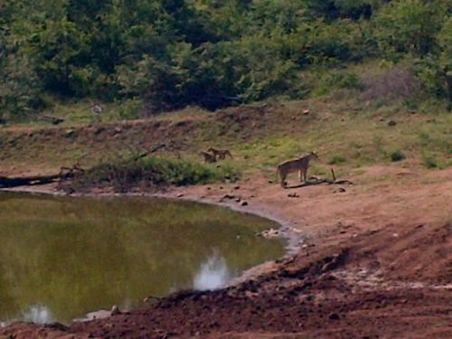 Lioness and 2 cubs at Wildebeest dam