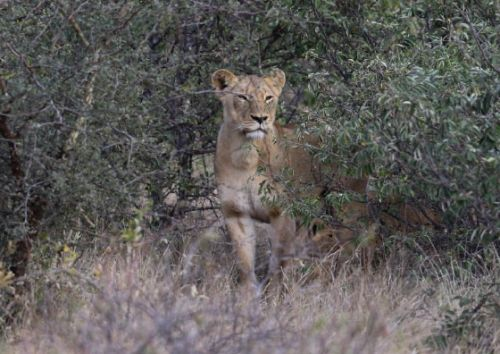 Lioness and cub at Nkonkoni by Simon Leppard